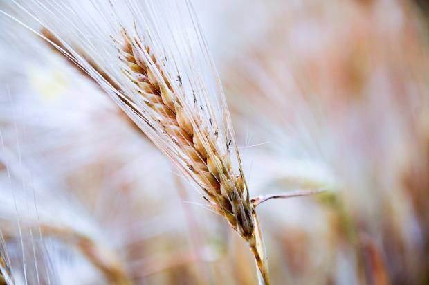 wheat-932682_1920